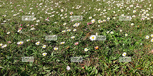 Europe, France, RŽgion Occitanie, 11 - Aude, Duilhac sous Peyrepertuse, prŽ au printemps, couvert de paquerettes